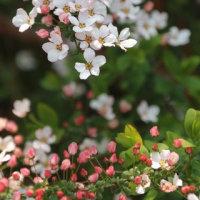 ◎ピンク雪柳&目覚めた花芽