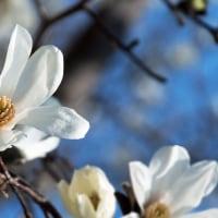 辛夷の花咲く頃(Ⅲ)