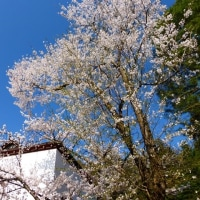高山の桜が見頃を迎えています。(2) ・・・ 岐阜県高山市