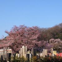 大光寺の枝垂れ桜と江戸彼岸桜が見頃です 2017.3.30