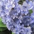 明月院にいって、紫陽花をみてくる。