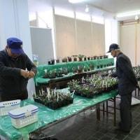 雪割草の展示会に出かけました (3月18日 長野県上高井郡小布施町)