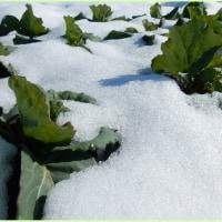 雪に埋もれし野菜