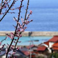 桜と日本海と大山