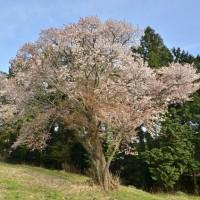 桜の下で山菜を採る人も