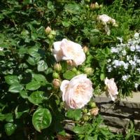 熱海のバラ園のバラの花、ファイルから出てきました。