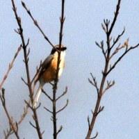 3/30探鳥記録写真(響灘ビオトープの鳥たち:セイタカシギ、ホオアカ、オオジュリン他)