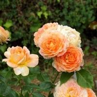 薔薇づくし1