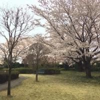 病院の桜も満開に