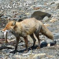 お山のキタキツネは、魚が大好き (#^.^#)