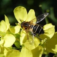 ハナアブとミツバチ