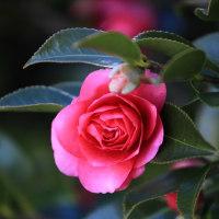 庭の花 寒椿