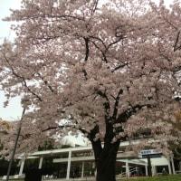 すっかり葉桜になりましたが・・・・・