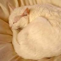 まるまり猫【ぼさぼさ白猫バージョン】