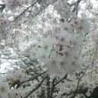 今日も花見です♪