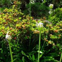 アガパンサスが花を開きだした。