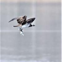 今日の野鳥    ミサゴ・チュウヒ・カワウ・カンムリカイツブリ