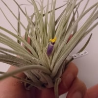 ベリッキアーナ、ひっそり開花