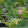 お堀の蓮の花