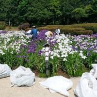 相模原公園の菖蒲田