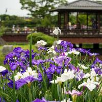 雨の季節が似合うハナショウブ 2 《佐賀市大和町花しょうぶ園》
