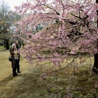 代々木公園の河津桜・・1