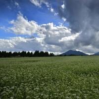 波野のソバ畑