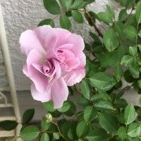 レイニーブルーが咲きました♪