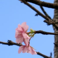 季節はずれの桜が~