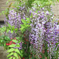 サバ猫 ノアちゃん  庭の花