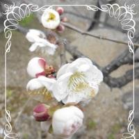 小さな梅が咲いた!