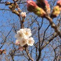 公園のソメイヨシノが咲きだしました!! 春だよ~~(^^♪