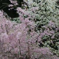 群馬県甘楽郡下仁田町の妙義山系麓では、ソメイヨシノの木が花をまだ咲かせています
