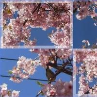 2017年のさくら、桜、、、