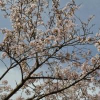桜咲く季節に感謝!!