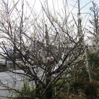 満開の梅 と すずめの学校へご招待( *´艸`)