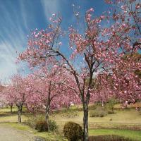 つがの里の桜