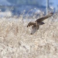 葦原から先に飛び出したのは、ハイイロチュウヒのメスだった。