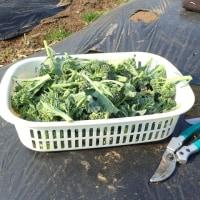 スティックセニョール収穫&種蒔き