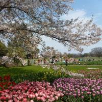 桜とチュリップ