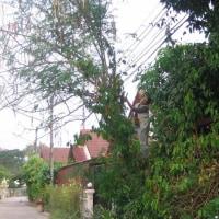 モリンガの樹