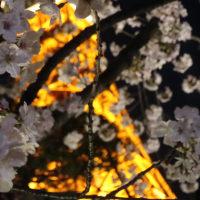 萌ゆる桜とタワー