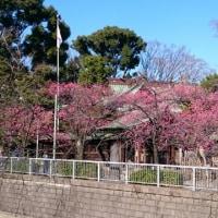 荏原神社寒緋桜情報
