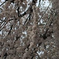 Dimare Acoustick Live (Ⅱ)桜の頃