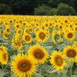 あけぼの山公園 向日葵が満開に