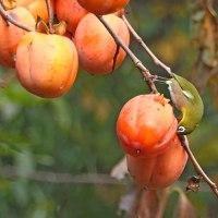 柿に来たメジロ