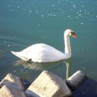 可愛い白鳥