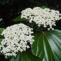 季節の花「白山木 (はくさんぼく)」