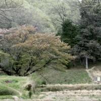 畦桜とスミレやレンゲ