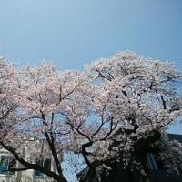🎵 名張の桜は淡々(あわあわ)と  優しく豊かにいま咲き誇る